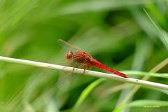 Rouge d'été (jpto_55) Tags: libellule odonate rouge bokeh fuji fujifilm xe1 fujixf55200mmf3548rlmois hautegaronne france