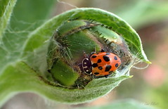 ELEVEN SPOTTED LADYBUG (Lani Elliott) Tags: insect bug beetle ladybug ladybird elevenspottedladybird green spotted spots macrounlimited homegarden