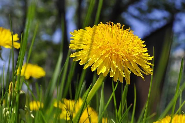 Обои трава, желтый, одуванчик картинки на рабочий стол, раздел цветы - скачать