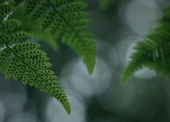 Sporation (annazelei) Tags: macro plant flora nature natural spora sporangium naturephotography leaf leaves dryopteris wood forest woods green grün fern ferny outdoor bokeh