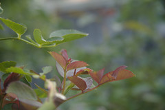 New rose leaves in summer (angrybeanie) Tags: rose growth leaves macro summer