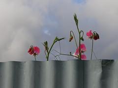 Happy Fenced Friday (Home Land & Sea) Tags: nz newzealand hawkesbay napier corrugatediron fence sweetpeas hff fencedfriday sonycybershot dschx100v pointshoot homelandsea