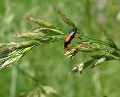 Diachromus germanus (rockwolf) Tags: diachromusgermanus carabidae beetle coleoptera groundbeetle insect feeding eating montcourtfromonville seineetmarne france 2018 rockwolf