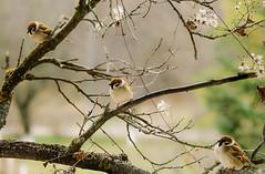 Three sparrows (Inka56) Tags: three sparrow nature