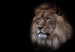 The King. (rudi.verschoren) Tags: 500px antwerp zoo lion artistic animal cat mood exposure belgium contrast colors nature fine art african male captivity