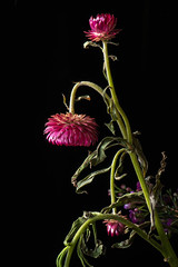 20190307Fading Flower23136-Edit (Laurie2123) Tags: ad200 laurieabbottturner laurieabbotthartphotography laurietakespics nikkor105mm nikond800e macro offcameraflash