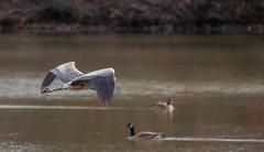 FM5A0375 (Kemp Davis) Tags: wildlife nature aquaticbird greatblueheron
