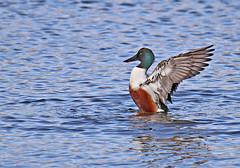 Shoveler - Michael Bird (Just call me Doc) Tags: shoveler duck divingduck male redbreast greenhead pond lake attenboroughnaturereserve attenborough nottinghamshire canon michaelbird tamron g2 6d 150600mm