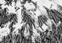 Grass and Snow (pmorris73) Tags: arboretum pennstateuniversity statecollege pennsylvania 1cc1419 2cc1419 3cc1519 4cc1519 5cc1819 6cc2019