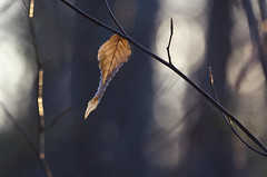 (amy20079) Tags: wilted winter leaf brown brownleaf trees woods branches thegoldenhour nature maine usa light bokeh thatendofthedayfeel mood silence peace feel darkdays winterleaf curled curl dry withered