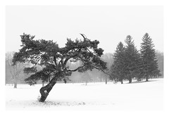 Crooked (bprice0715) Tags: canon canoneos5dmarkiii canon5dmarkiii landscape landscapephotography nature naturephotography beautiful beauty beautyinnature highkey highcontrast blackandwhite blackwhite bw snow snowylandscape snowing winter cold trees twisted