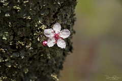 Delicate Beauty (Patrick Dirden) Tags: lonely isolation delicate moss lichen lower bloom blossom cherryblossom flower spring tree knightsvalley healdsburgca sonomacounty northbay bayarea northerncalifornia california
