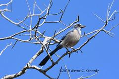 Florida's Scrub Jay along Canaveral Seashore Road (wayne kennedy EDD) Tags: floridascrubjay scrubjay jay edemic bird floridaspecies florida