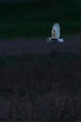 DSC04254 - Barn Owl (steve R J) Tags: barn owl wallasea island rspb reserve essex birds british