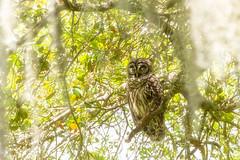 Barred Owl (spwasilla) Tags: owl barredowl strixvaria bird florida nature