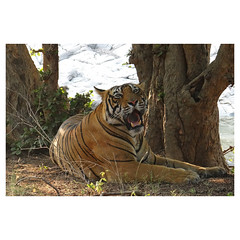 Bengal Tiger, Sultan, son of Noor, Ranthambhore National Park, Rajasthan, India (Monica Max West) Tags: india indianwildlife wildlife nature wildlifephotography wild tiger bengaltiger monkey primate bigcat endangered
