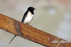 Swallow - Schwalbe (Hirundinidae) Sperlingsvögel (chk.photo) Tags: nature naturewatcher outdoor animal natur naturemasterclass ngc austria salzburg bird vogel