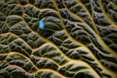 Water discovered on Mars! (Barrie T) Tags: macromondays aprilfools macro marsorbiter water cabbageleaf