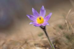 Pulsatilla grandis (Torok_Bea) Tags: pulsatilla grandis pulsatillagrandis kökörcsin leánykökörcsin nikon nikond7200 natur nature nationalpark sigma sigma105 sigma105mm wonderful wildflower amazing beautiful bestflowers budaihegység anémonepulsatille