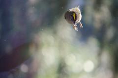56/365 - BOING! (Spannarama) Tags: 365 february bird goldcrest bouncing jumping boing window sunlight sunshine bokeh outofmywindow nutjob
