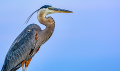 Our Local GBH (Great Blue Heron) (David Hamments) Tags: bird ardeaherodias colchester beach ontario sunset greatblueheron gbh fantasticnature flickrunitedaward