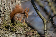 Red Squirrel#Explored (fascinationwildlife) Tags: animal mammal wild wildlife winter nature natur park nymphenburg schloss green tree forest red squirrel eichhörnchen munich münchen deutschland germany bavaria bayern urban morning