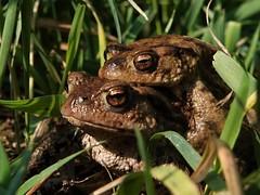 photo 2  Padden  Toads (Wilmeij) Tags: padden toads frogs kikker closeup nature natuur netherlands