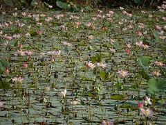 Nelumbo nucifera Gaertn. (Dinesh Valke) Tags: nelumbonaceae lotusfamily aquatic perennial herb nationalflower stateflower nelumbonucifera nelumbiumspeciosum nelumbospeciosa nymphaeanelumbo kamal kamala kamalam kanvalu kanwal komol lotus padmadkarpo padam padma padmaphula paduma podum sacredlotus tamara tamarapuvvu tamarai tamare tavare thambal