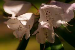 White flowers (akatsoulis) Tags: colours flowers oxfordshire southoxfordshiredistrict arboretum oxforduniversity oxford alexkatsoulis harcourtarboretum