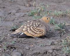 Chestnut-bellied Sandgrouse (Mark Vukovich) Tags: chestnutbellied sandgrouse bird water tanzania