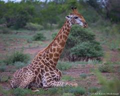 Relaxing Giraffe (leendert3) Tags: leonmolenaar southafrica krugernationalpark wildlife nature mammal giraffe ngc npc naturethroughthelens