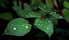 Rainy day... (superhic) Tags: rain leaves rose water macro raindrops drops spring bokeh leaf kiša list ruža proleće kapi kapikiše