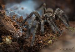 Tarántula española/ Spanish tarantula (Ischnocolus valentinus) (Jacobo Quero) Tags: tarántula spider ischnocolus araña wildlife animal nature macro naturaleza nikon