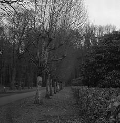 Phalanx (Rosenthal Photography) Tags: asa400 rodinal15020°c11min epsonv800 20190401 mittelformat 6x6 schwarzweiss ilfordrapidfixer ff120 rolleiflex35f analog ilforddelta400pro phalanx trees birches road way pathway track trail mood spring march blackandwhite landscape graveyard rollei rolleiflex sk schneiderkreuznach xenotar 75mm 35f f35 ilford delta delta400 400pro rodinal 150 epson v800
