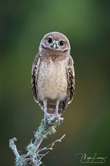 Cutie (Megan Lorenz) Tags: burrowingowl owl owlet bird avian birdofprey nature wildlife wild wildanimals travel florida mlorenz meganlorenz