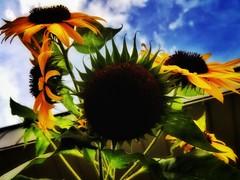 20180926_181940-01 (photosby_di) Tags: summer sunflowers seeds boglefarms 2018