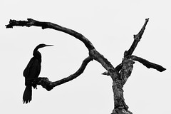 Oriental Darter (Gomen S) Tags: bw blackandwhite tropical 2018 afternoon abstract animal wildlife nature bird srilanka 80400mm d500 nikon