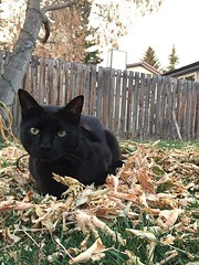 MISSING Black cat, 3 Years Old. #Richmond area. Please contact me 403 837 5507. Pls RT, watch, share to help locate El Chapo YYC Pet Recovery shared Rodney Bakelaar's post. MISSING CAT Black cat, 3 Years Old. El Chapo went missing on Sunday in the #Richmo (yycpetrecovery) Tags: ifttt january 17 2019 0111am lostcat lost cat