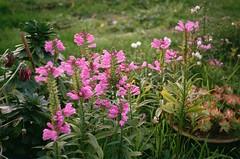 Obedient Plant (5) (Matthew Huntbach) Tags: obedientplant pink greenwichcemetery fujisuperia400