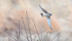 Kestrel Flying in the Field (Kitty Kono) Tags: kestrel valleyforge flying field kittyrileykono