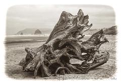 Driftwood Stump (lloydboy52) Tags: driftwoodstump driftwood stump jetsam cannonbeach oregon northwestcoast coast pacificocean weathered haystackrock polaroid polapan 35mm blackwhite film beach landscape seascape sea wind