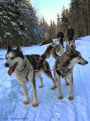 Chiens de traîneau, St Alexis des Monts, Quebec, Canada. (B€rn@rd) Tags: traineau chiens quebec canada neige animal