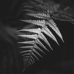 Fern Leaves - Black & White-0136-3 (JayDeWinne) Tags: green fern leaves patterns colours leaf nature flora plant forest nopeople backgrounds botany beautyinnature vector abstract lushfoliage branchplantpart frond closeup freshness depth selectivefocus naturalpattern