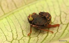 Leafhopper nymph, Cicadellidae, Coelidiinae (Ecuador Megadiverso) Tags: amazon andreaskay cicadellidae coelidiinae cordilleradelcóndor ecuador elquimi hemiptera leafhopper nymph rainforest tropic truebug