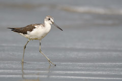 Greenshank, South Goa, India 4 (JohnMannPhoto) Tags: greenshank southgoa india