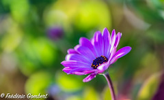 Sun of Spring (frederic.gombert) Tags: flower flowers light color red pink green sun spring macro plant bloom blossom