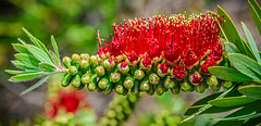 Birth of the Bottlebrush (FotoGrazio) Tags: color flowers nature fotograzio botany red wildflower mothernature macro wildflowers waynegrazio macrophotography photomanipulation spring lovely blossoms floral naturephotography pollen redandgreen flowerbuds waynestevengrazio sandiego texture blossom pattern usa colorful closeup beautiful waynesgrazio flower california botanical colors blooming bloom phototoart springtime bottlebrush