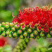Birth of the Bottlebrush