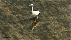 circospetto (imma.brunetti) Tags: firenze toscana italia fiume acqua mugnone trasparenza animali aironi sgarzetta uccello zampe piume becco