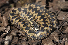 Adder (AndyNeal) Tags: animal wildlife nature reptile snake adder essex essexwildlifetrust ewt fingringhoe fingringhoewick naturereserve spring